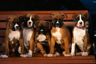 Boxer puppies wallpaper in Plants