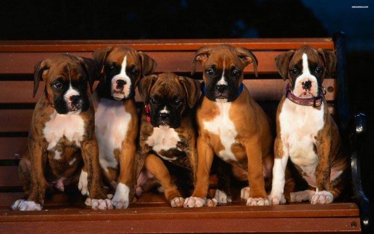 Dog , 9 Amazing Boxer Puppies Spokane Wa : Boxer Puppies Wallpaper