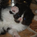 Bred Persian cat , 6 Stunning Persian Cats Houston In Cat Category