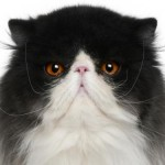 Breed Persian Cat , 7 Nice Persian Cat Temperament In Cat Category