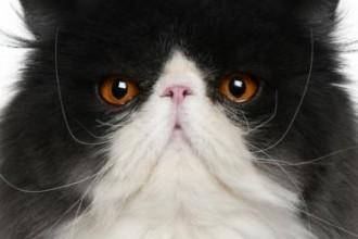 Breed Persian Cat , 7 Nice Persian Cat Temperament In Cat Category