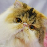 Breeders of Persian Cats , 9 Fabulous Persian Cats Breeders In Cat Category
