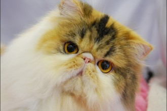 Breeders of Persian Cats in Scientific data