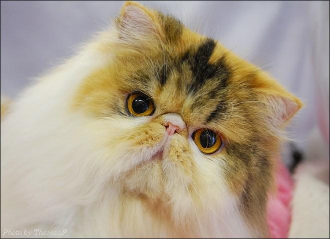 Cat , 9 Fabulous Persian Cats Breeders : Breeders Of Persian Cats