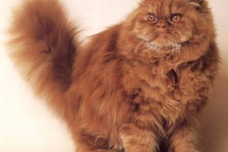 Breeds Persian Cats , 5 Good Persian Cat Breeder In Cat Category
