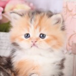 Calico Persian Kitten , 8 Cool Calico Critters Persian Cat Family In Cat Category