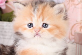 Calico Persian Kitten in Human