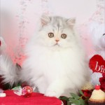Calico Toy Persian Kitten , 8 Wonderful Toy Persian Cats In Cat Category