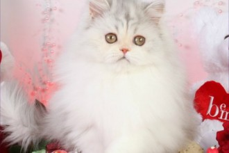 Calico Toy Persian Kitten in Genetics