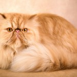 Caring for a Persian Cat , 9 Cute Persian Cat Health Issues In Cat Category