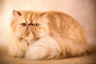 Caring for a Persian Cat in Cell