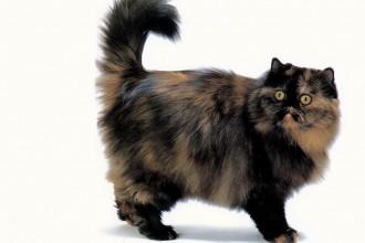 Cat Breed Persian , 7 Popular Tortoiseshell Persian Cat In Cat Category