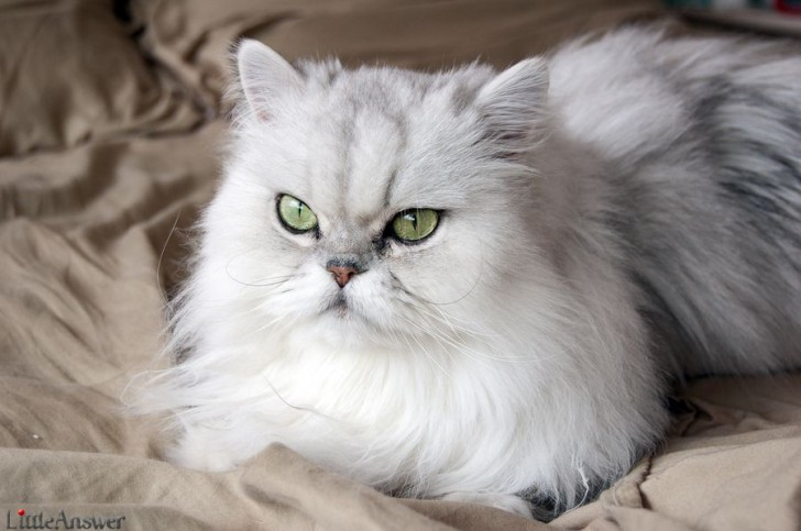 Cat , 7 Nice Persian Cat Life Expectancy : Cat Breeds