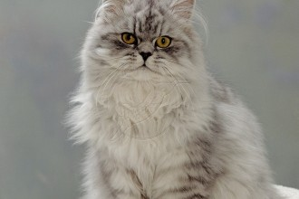 Cat Chinchilla Persian , 9 Charming Chinchilla Persian Cat In Cat Category
