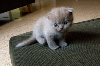 Cat For Sale In Houston , 4 Gorgeous Persian Cats For Sale In Phoenix In Cat Category