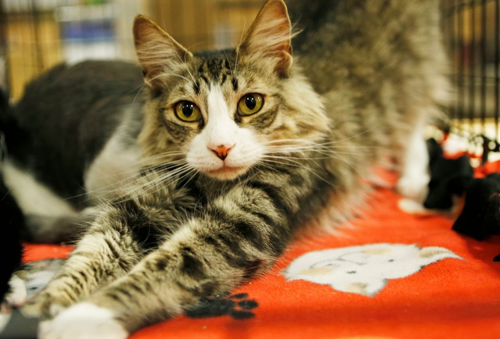 Persian Cat Rescue San Diego
