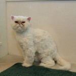 Cat a Haircut , 7 Cool Persian Cat Haircuts In Cat Category