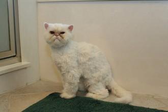 Cat A Haircut , 7 Cool Persian Cat Haircuts In Cat Category