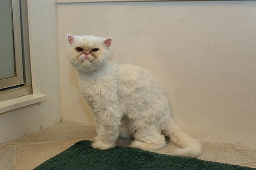 Cat , 7 Cool Persian Cat Haircuts : Cat A Haircut