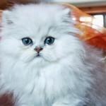Cat names , 6 Charming Persian Cat Names Female In Cat Category