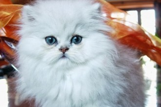 Cat Names , 6 Charming Persian Cat Names Female In Cat Category