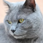 Cats , 8 Charming Different Types Of Persian Cats In Cat Category