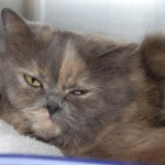Cats and Kittens , 8 Fabulous Persian Cat Rescue Seattle In Cat Category