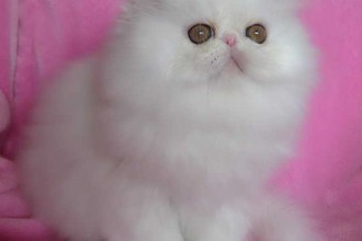 Cats And Kittens , 6 Good Persian Cats San Antonio In Cat Category