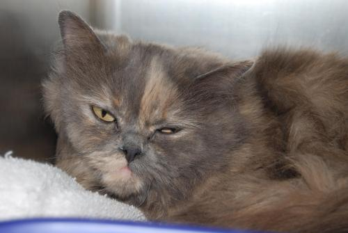 Cat , 8 Fabulous Persian Cat Rescue Seattle : Cats And Kittens