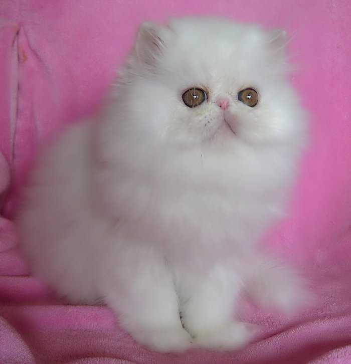 Cat , 6 Good Persian Cats San Antonio : Cats And Kittens