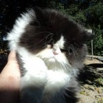 Cats & kittens , 4 Top Persian Cat For Sale Los Angeles In Cat Category
