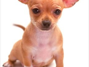 Chihuahua Puppies in Muscles