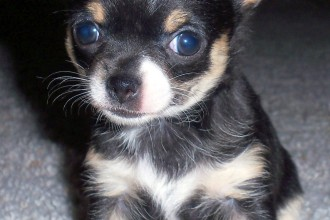 Chihuahua Puppies Pictures , 9 Cute Chiuaua Puppies For Sale In Ohio In Dog Category