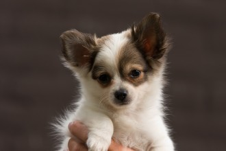 Chihuahua Puppy Pictures , 9 Cute Chiuaua Puppies For Sale In Ohio In Dog Category