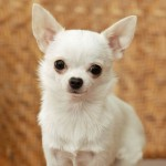 Chihuahua dogs , 9 Cute Chiuaua Puppies For Sale In Ohio In Dog Category
