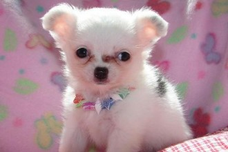 Chihuahua Puppies , 9 Cute Chiuaua Puppies For Sale In Ohio In Dog Category