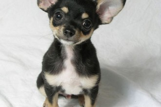 Chihuahua puppy picture in Cat