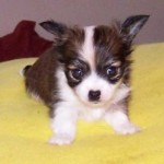 Chihuahua puppy picture , 8 Cute Chiuaua Puppies For Sale In Pa In Dog Category