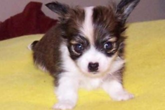 Chihuahua puppy picture in Butterfly