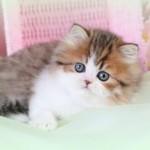 Chinchilla Golden , 7 Cute Mini Persian Cats For Sale In Cat Category
