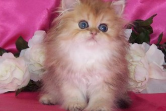 Chinchilla Golden Teacup Kitten , 7 Awesome Teacup Persian Cat In Cat Category