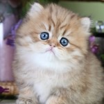Chinchilla Golden Teacup , 7 Good Teacup Persian Cats In Cat Category
