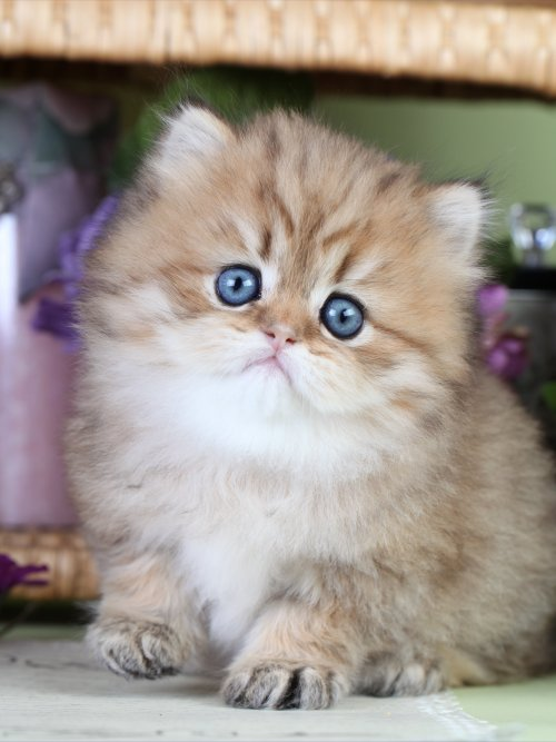 Cat , 7 Good Teacup Persian Cats : Chinchilla Golden Teacup
