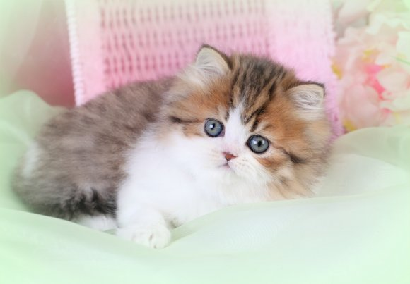Cat , 7 Cute Mini Persian Cats For Sale : Chinchilla Golden