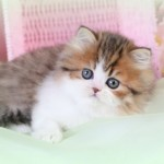 Chinchilla Golden , 6 Lovely Miniature Persian Cats For Sale In Cat Category