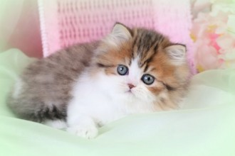 Cat , 6 Lovely Miniature Persian Cats For Sale : Chinchilla Golden