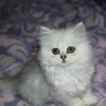 Chinchilla Persian  , 7 Nice Persian Cat Temperament In Cat Category