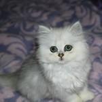 Chinchilla Persian  , 7 Nice Persian Cat Temperament In Cat Category