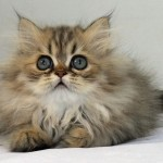 Chinchilla Persian , 9 Nice Persian Cat Eye Care In Cat Category