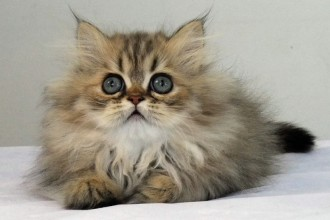 Chinchilla Persian in pisces